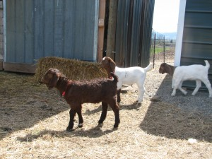 goaties april 2014 019